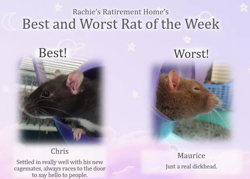 Rat - Rachie's Ratirement Home's Best and Worst Rat of the Week Best! Worst! Chris Maurice Settled in really well with his new cagemates, always races to the door to say hello to people. Just a real dickhead.