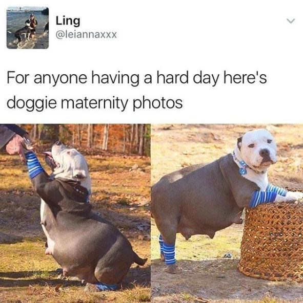 Dog - Ling @leiannaxxx For anyone having a hard day here's doggie maternity photos