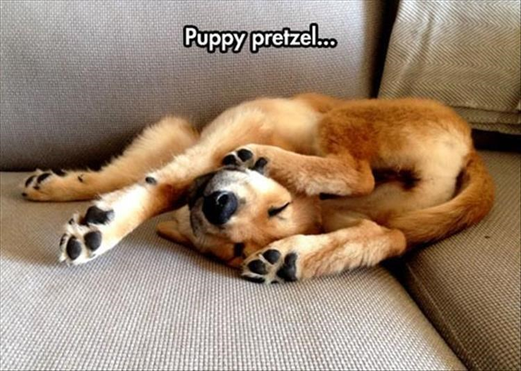 Dog - Puppy pretzel.