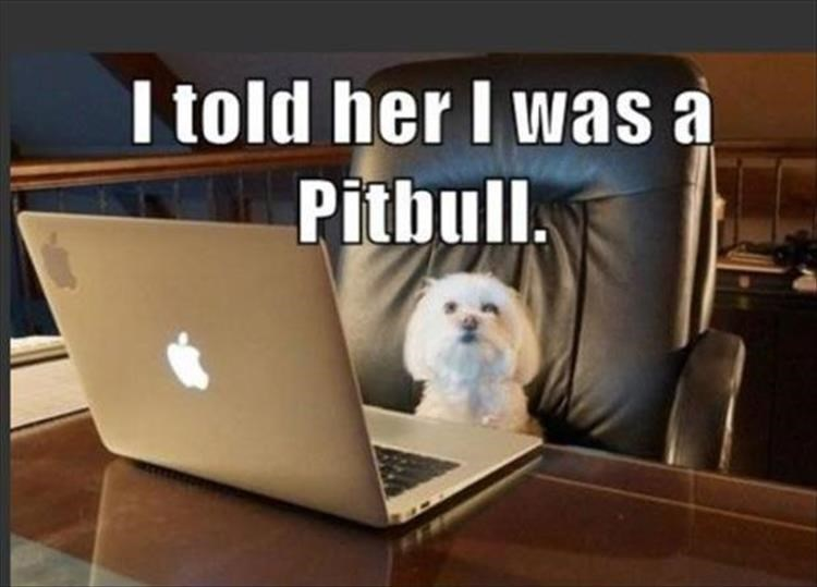 dog meme   i told her i was a pitbull   white poodle tiny dog sitting in front of a mac laptop