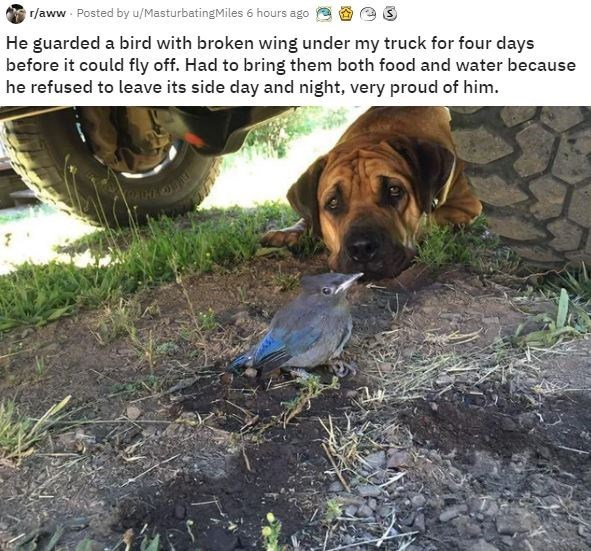 Vertebrate - r/aww Posted by u/MasturbatingMiles 6 hours ago He guarded a bird with broken wing under my truck for four days before it could fly off. Had to bring them both food and water because he refused to leave its side day and night, very proud of him.
