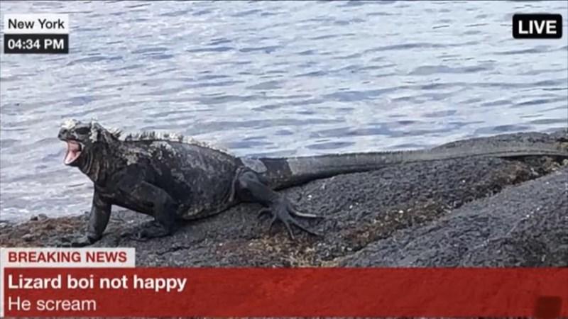Iguania - New York LIVE 04:34 PM BREAKING NEWS Lizard boi not happy He scream