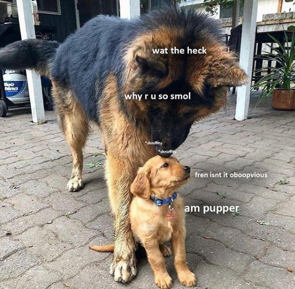 Dog - wat the heck why ru so smol shniffity *shnoffy fren isnt it oboopvious am pupper