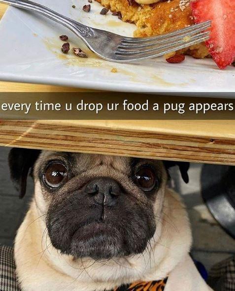 Pug - every time u drop ur food a pug appears