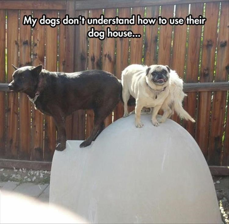 Mammal - My dogs don't understand how to use their dog house.