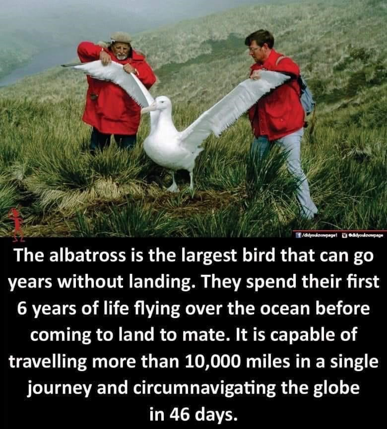 the albatross is the largest bird that can go years without landing they spend their first 6 years of life flying over the ocean before coming to land to mate it is capable of traveling more than 10000 miles in a single journey