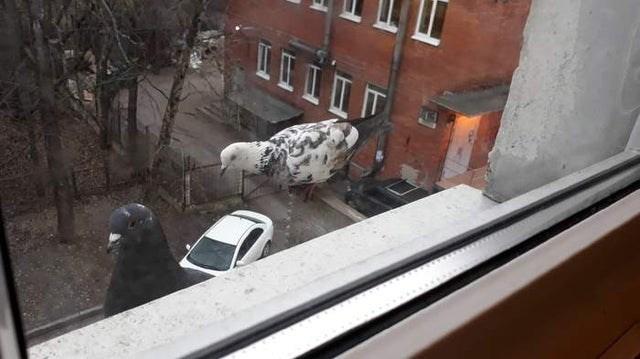 Dalmatian - 1IIT