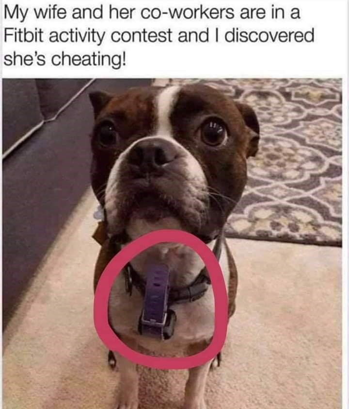 dog meme   my wife and her coworkers are in a fitbit activity contest and i discovered she's cheating   pic of a cute pit bull with a fitbit bracelet tied to its collar
