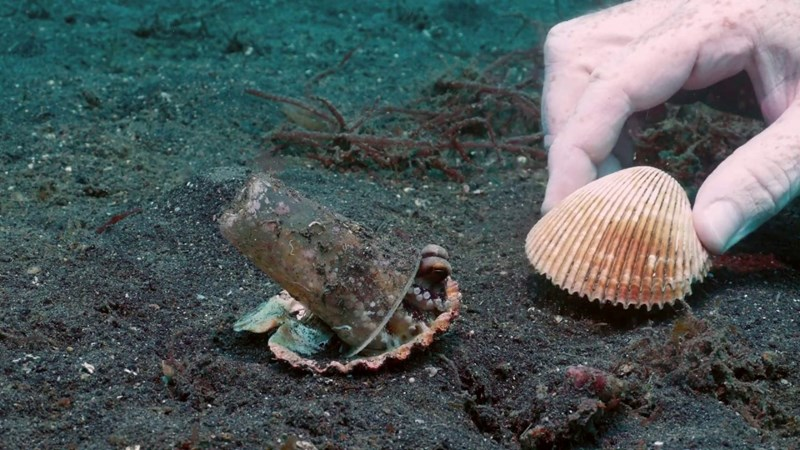 Tiny octopus found by divers living in a shell and a plastic cup and they try to find him a replacement shell to give up the