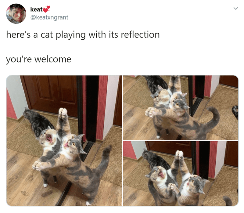 Canidae - keat @keatxngrant here's a cat playing with its reflection you're welcome