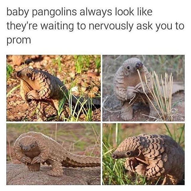 Vertebrate - baby pangolins always look like they're waiting to nervously ask you to prom