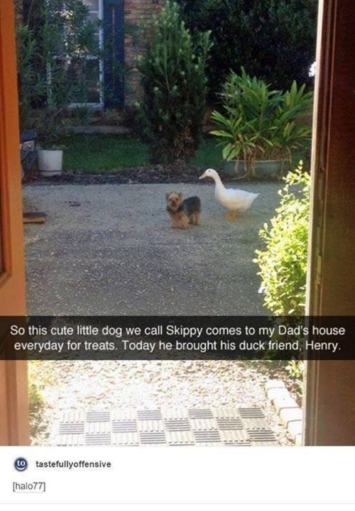 Adaptation - So this cute little dog we call Skippy comes to my Dad's house everyday for treats. Today he brought his duck friend, Henry. O tastefullyoffensive [halo77]