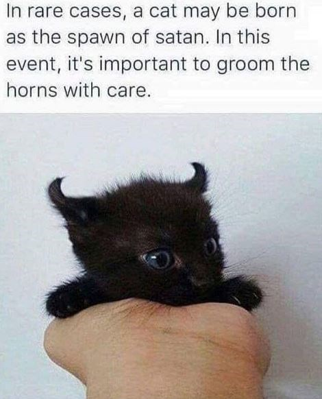 Black cat - In rare cases, a cat may be born as the spawn of satan. In this event, it's important to groom the horns with care.