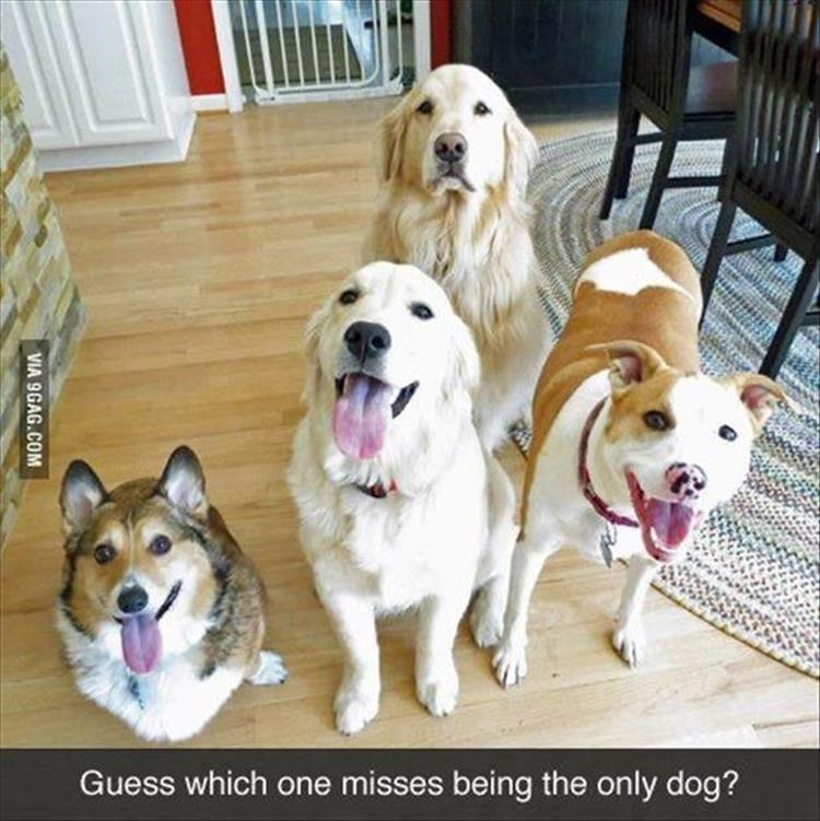 Dog - Guess which one misses being the only dog? VIA 9GAG.COM