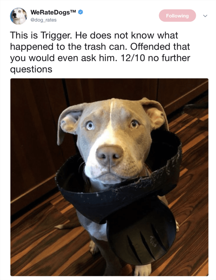 Dog - WeRateDogsTM O @dog_rates Following This is Trigger. He does not know what happened to the trash can. Offended that you would even ask him. 12/10 no further questions