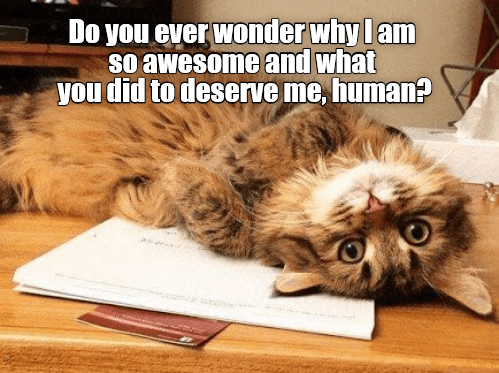 Cat - Cat - Do you ever wonder why l am so awesome and what you did to deserve me, human?