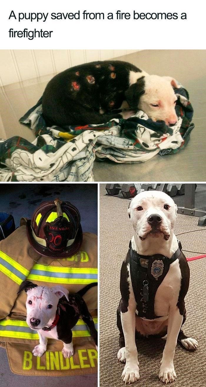 Dog - A puppy saved from a fire becomes a firefighter AWENDA BLINDLER