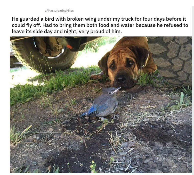 Dog - u/MasturbatingMiles He guarded a bird with broken wing under my truck for four days before it could fly off. Had to bring them both food and water because he refused to leave its side day and night, very proud of him.