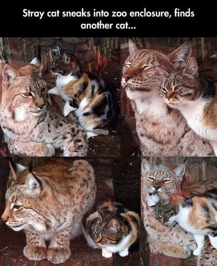 Cat - Stray cat sneaks into zoo enclosure, finds another cat...