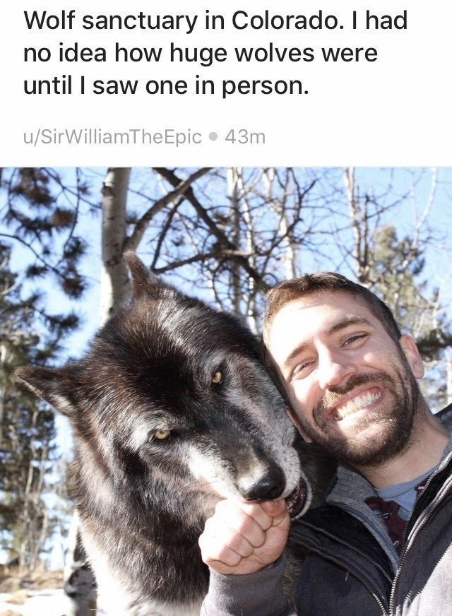 Mammal - Wolf sanctuary in Colorado. I had no idea how huge wolves were until I saw one in person. u/SirWilliamTheEpic 43m