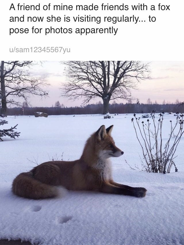Canidae - A friend of mine made friends with a fox and now she is visiting regularly... to pose for photos apparently u/sam12345567yu