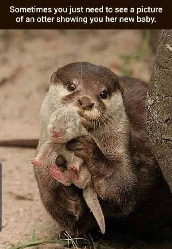 Mink - Sometimes you just need to see a picture of an otter showing you her new baby.