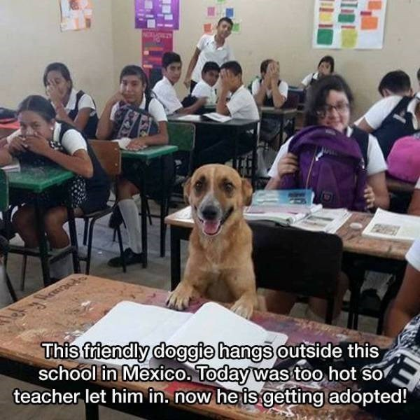Canidae - This friendly doggie hangs outside this school in Mexico. Today was too hot so teacher let him in. now he is getting adopted!