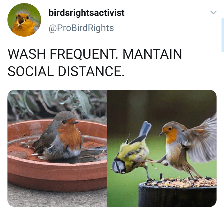 European robin - birdsrightsactivist @ProBirdRights WASH FREQUENT. MANTAIN SOCIAL DISTANCE.