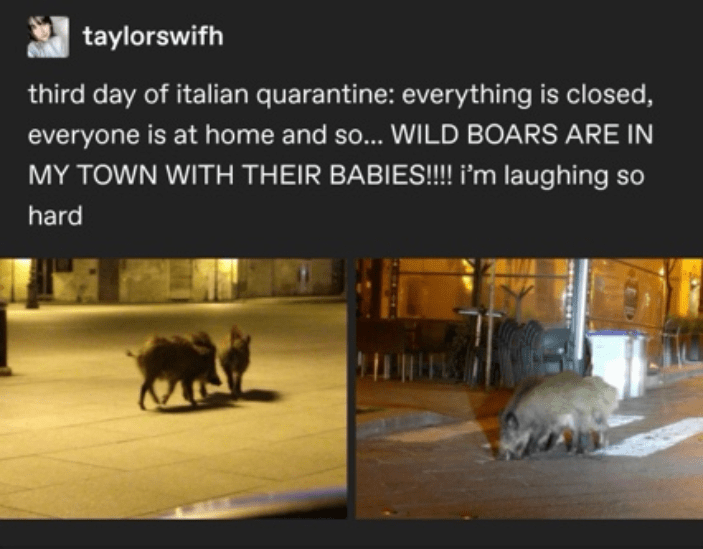 Text - taylorswifh third day of italian quarantine: everything is closed, everyone is at home and so... WILD BOARS ARE IN MY TOWN WITH THEIR BABIES!!!! i'm laughing so hard