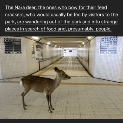 Deer - The Nara deer, the ones who bow for their feed crackers, who would usually be fed by visitors to the park, are wandering out of the park and into strange places in search of food and, presumably, people.