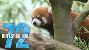 Red panda - CUTEST ANIMALS