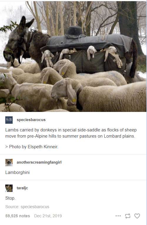 lambs carried by donkeys in special side saddle as flocks of sheep move from pre alpine hills to summer pastures on lombard plains lamborghini