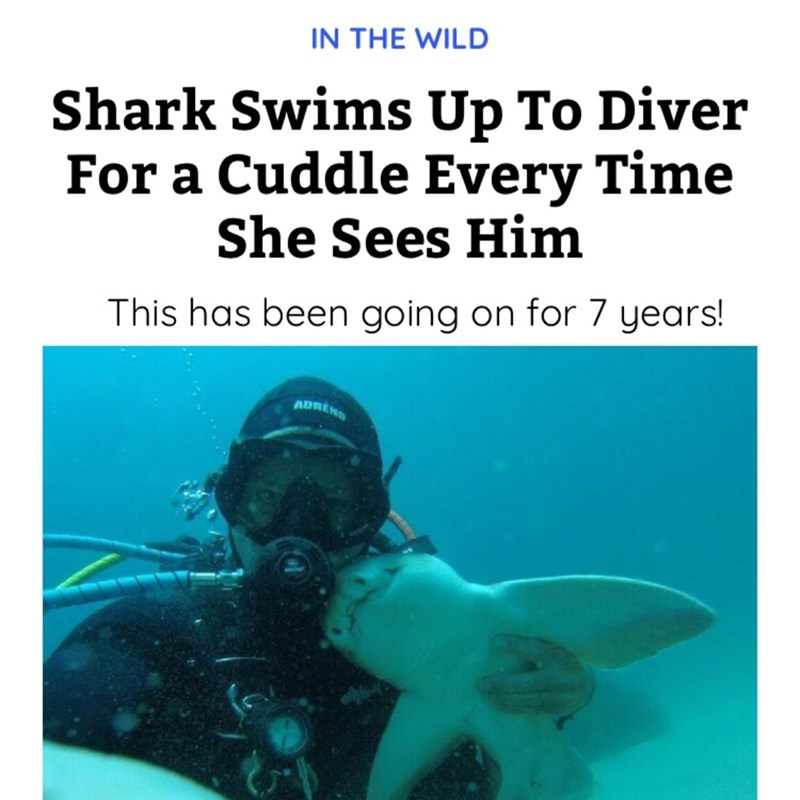 Scuba diving - IN THE WILD Shark Swims Up To Diver For a Cuddle Every Time She Sees Him This has been going on for 7 years! ADRENS