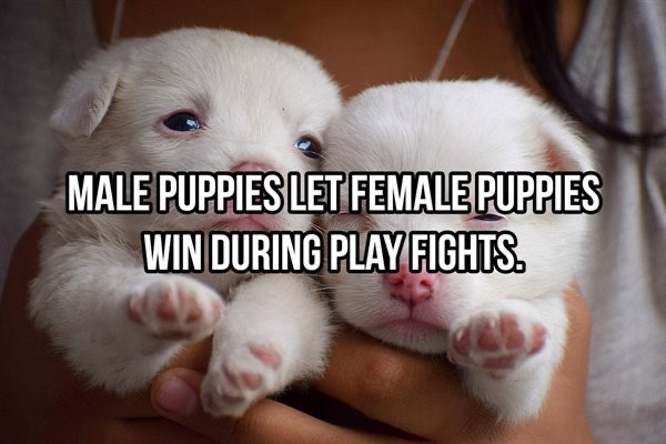Dog breed - MALE PUPPIES LET FEMALE PUPPIES WIN DURING PLAY FIGHTS.