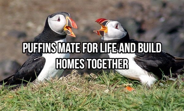 Bird - PUFFINS MATE FOR LIFE AND BUILD. HOMES TOGETHER