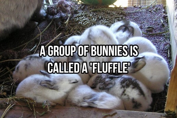 Domestic rabbit - A GROUP OF BUNNIES IS CALLED A FLUFFLE