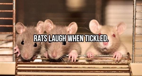 Rat - RATS LAUGH WHEN TICKLED.