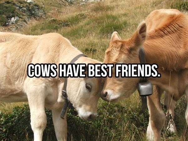 Mammal - COWS HAVE BEST FRIENDS.