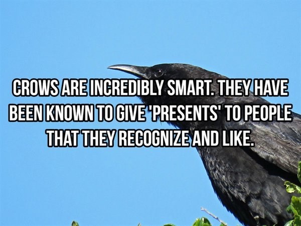 Bird - CROWS ARE INCREDIBLY SMART. THEY HAVE BEEN KNOWN TO GIVE PRESENTS' TO PEOPLE THAT THEY RECOGNIZE AND LIKE.