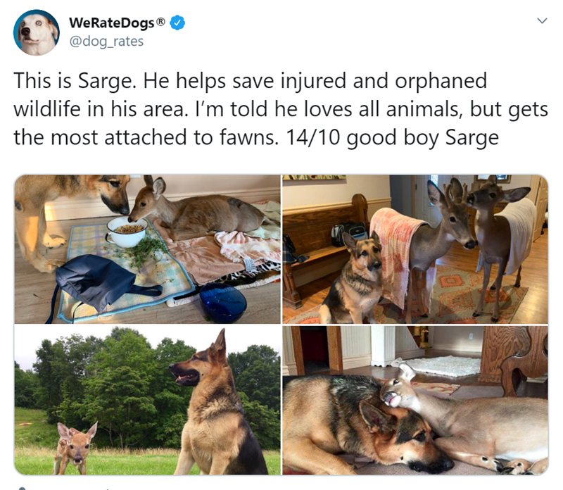 Canidae - WeRateDogs ® @dog_rates This is Sarge. He helps save injured and orphaned wildlife in his area. I'm told he loves all animals, but gets the most attached to fawns. 14/10 good boy Sarge