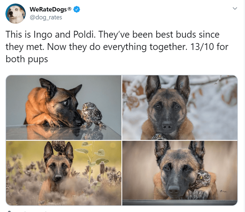 German shepherd dog - WeRateDogs® @dog_rates This is Ingo and Poldi. They've been best buds since they met. Now they do everything together. 13/10 for both pups