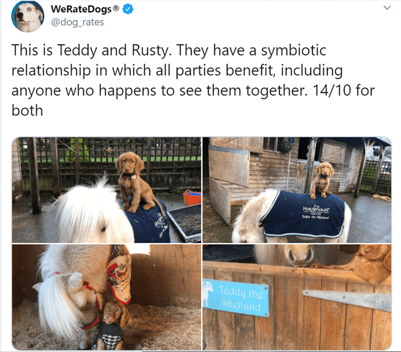 Product - WeRateDogs® @dog_rates This is Teddy and Rusty. They have a symbiotic relationship in which all parties benefit, including anyone who happens to see them together. 14/10 for both HorseARe IMELAND INpporth Teddy the Shetland Teddy the Shetland