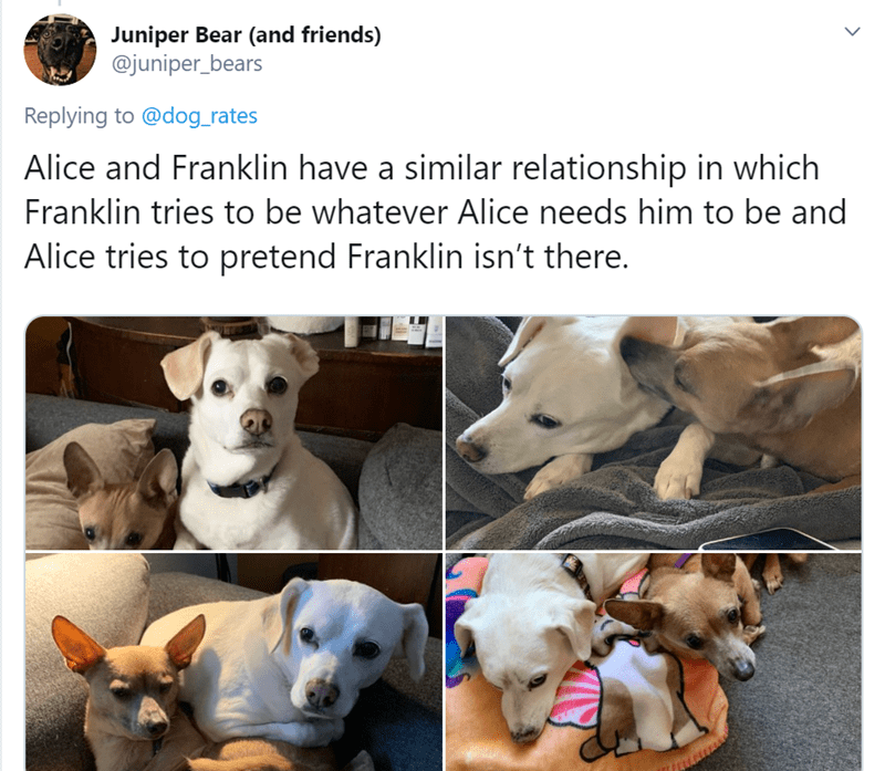 Dog breed - Juniper Bear (and friends) @juniper_bears Replying to @dog_rates Alice and Franklin have a similar relationship in which Franklin tries to be whatever Alice needs him to be and Alice tries to pretend Franklin isn't there.