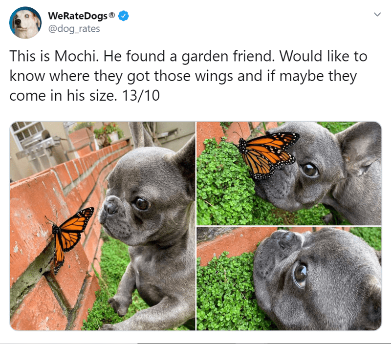 Snout - WeRateDogs® @dog_rates This is Mochi. He found a garden friend. Would like to know where they got those wings and if maybe they come in his size. 13/10