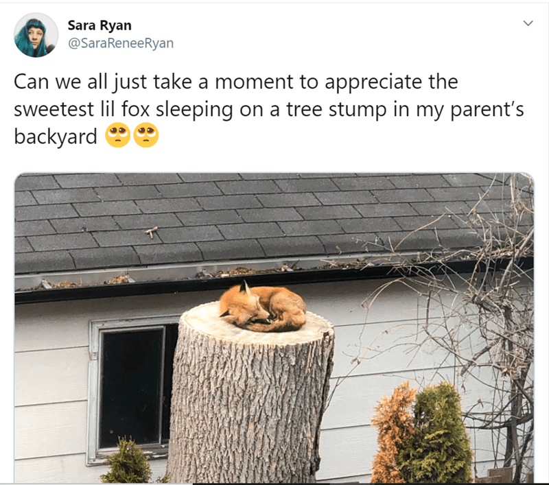 Tree - Sara Ryan @SaraReneeRyan Can we all just take a moment to appreciate the sweetest lil fox sleeping on a tree stump in my parent's backyard e