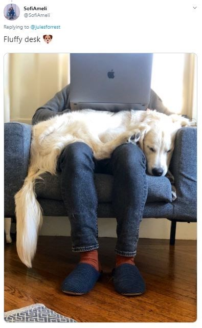 Canidae - SofiAmeli @SofiAmeli Replying to @julesforrest Fluffy desk