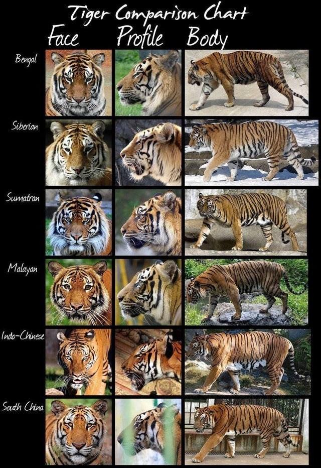 Tiger - Tiger Comparison Chart Face Profile Body Bogal Siberian Sumatran Malayan Indo-Chinese Sauth China
