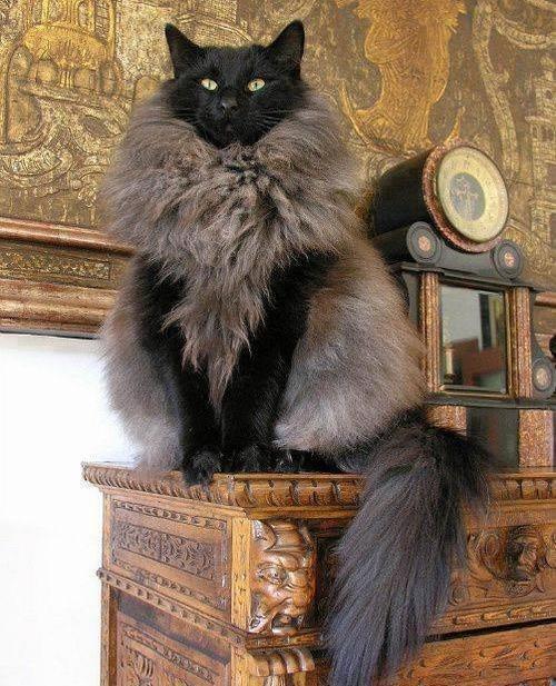 Cat - रज