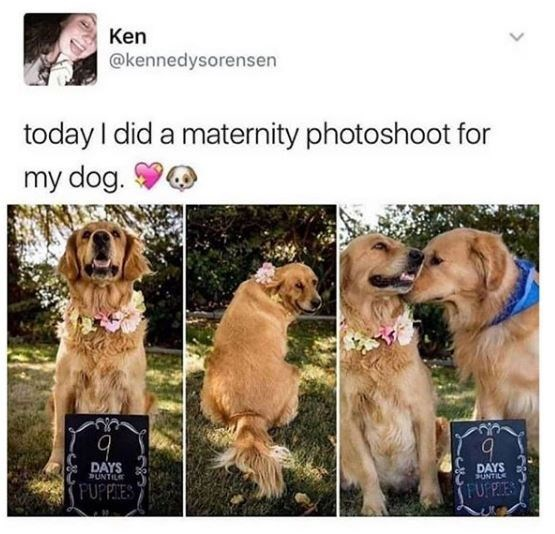 Dog - Ken @kennedysorensen today I did a maternity photoshoot for my dog. DAYS PUNTILE DAYS SUNTILE FUPPIES FUF PIES