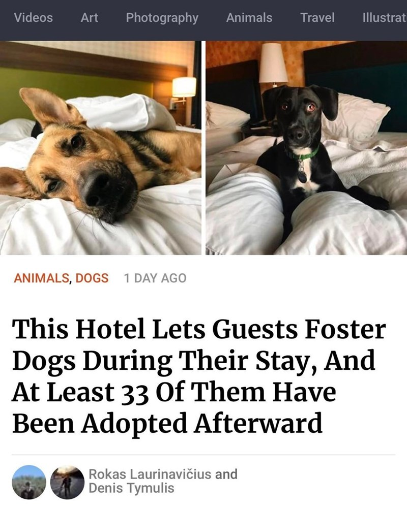 Dog breed - Videos Art Photography Animals Travel Illustrati ANIMALS, DOGS 1 DAY AGO This Hotel Lets Guests Foster Dogs During Their Stay, And At Least 33 Of Them Have Been Adopted Afterward Rokas Laurinavičius and Denis Tymulis